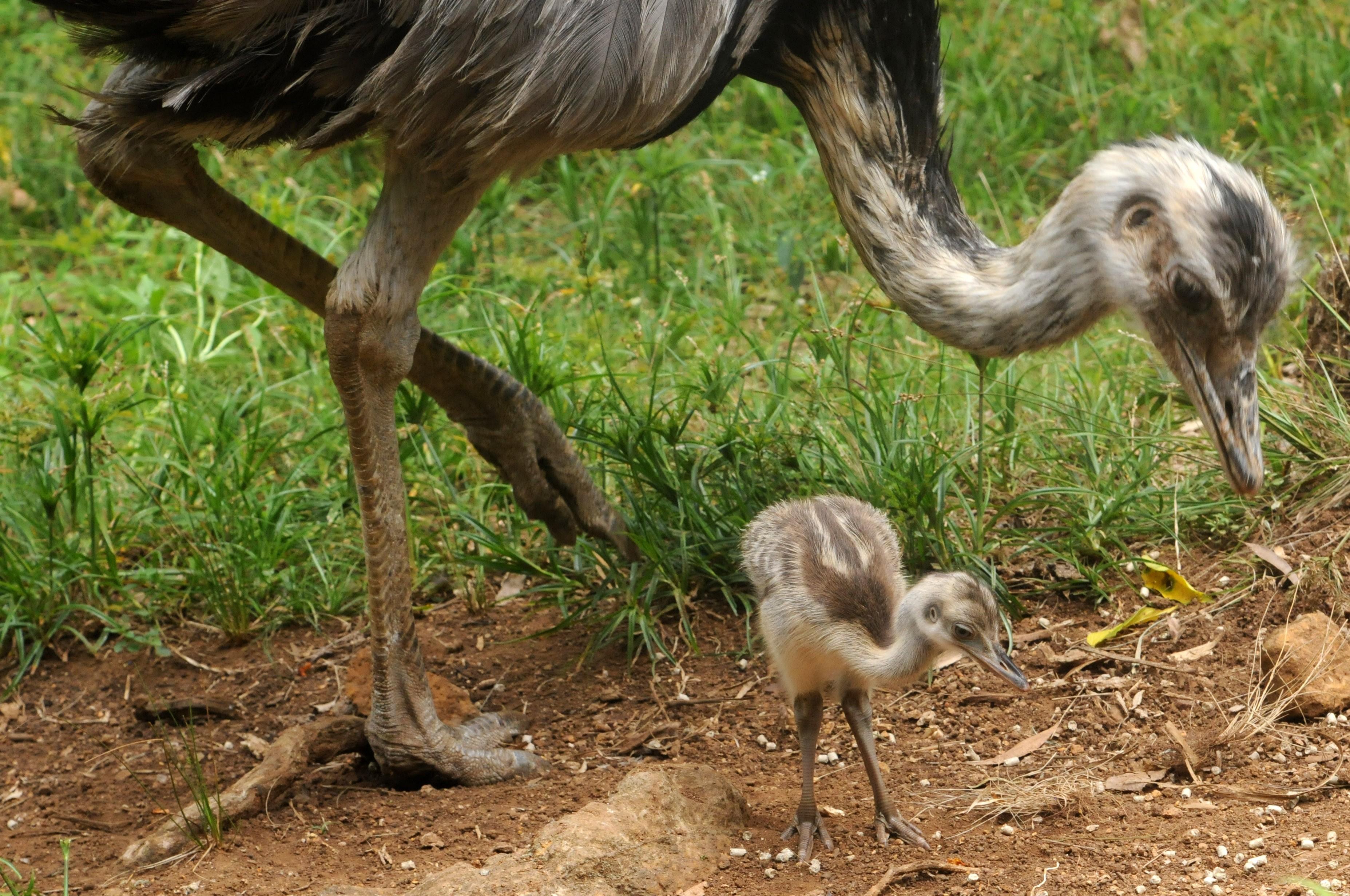 Ovo de ema é incubado por dois machos no zoológico de Gramado