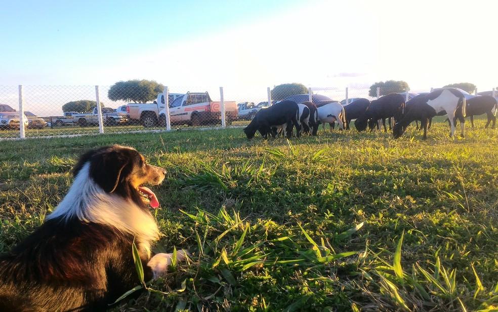 -  Cão da raça Border Collie que pastoreia ovelhas em demonstração na Tecnoshow 2018  Foto: Vanessa Martins/G1