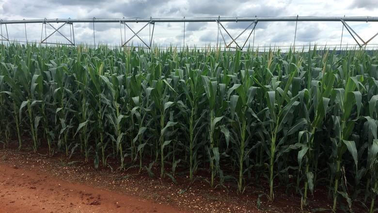 Lavoura de milho com irrigação (Foto: Reuters/Marcelo Rodrigues Teixeira)