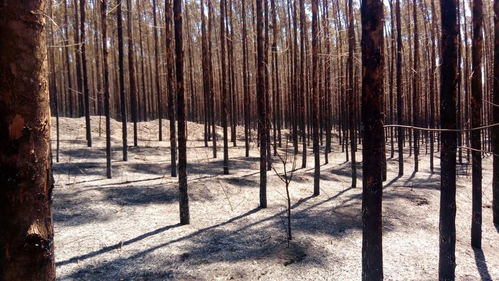 Incêndio consumiu 1,3 mil hectares de plantação de eucalipto e área de preservação em Ribas do Rio Pardo, MS (Foto: Flávia Galdiole/TV Morena)