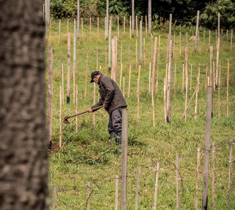 A Vinícola Vivente, de Colinas (RS), foi a primeira produtora  de orgânicos a obter registro no Ministério da Agricultura (Foto: Cristiano Borges/ Ed. Globo;)