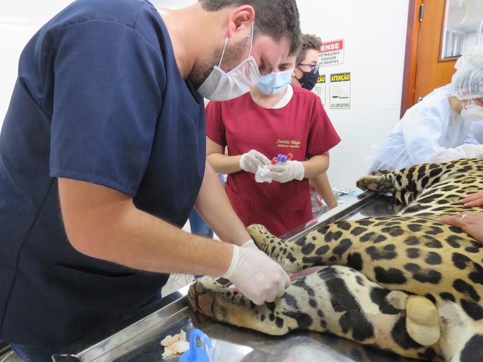 Equipe também coletou material genético da onça — Foto: Naturatins/Divulgação