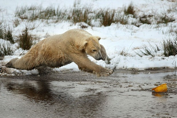 Urso polar (Foto: Getty Images)