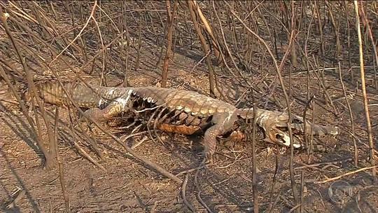 Aumento de queimadas atinge animais do Pantanal