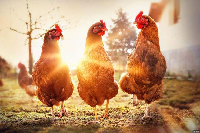 Bilhões de animais são abatidos anualmente para alimentar a população (Foto: ALAMY via BBC News Brasil)
