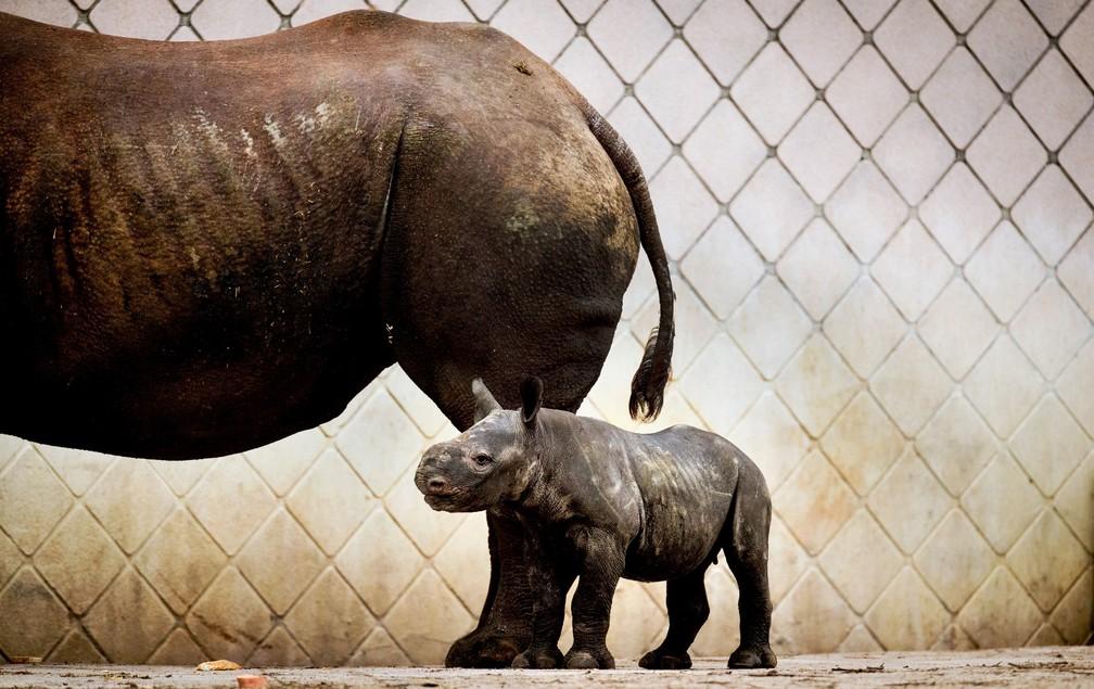 4 de janeiro - Um filhote de rinoceronte, ainda sem nome, sai pela primeira vez com a mãe Naima no Blijdorp Zoo, em Rotterdã, na Holanda. O bebê rinoceronte nasceu em 23 de dezembro de 2017 (Foto: Remko de Waal/ANP/AFP)