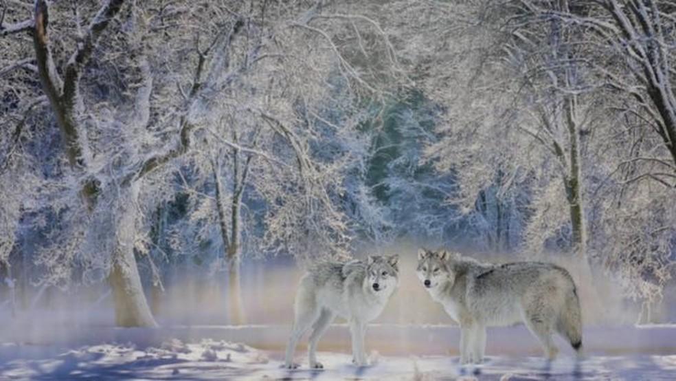 Lobos, tão temidos no passado, agora são bem-vindos em Yellowstone — Foto: Getty Images/BBC