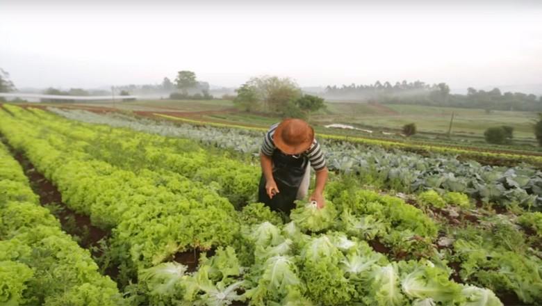 agricultor-alface-hortalicas (Foto: Reprodução/Sérgio Ranalli)