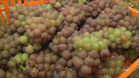 Inverno mais quente que o normal antecipa a colheita da uva em SC
