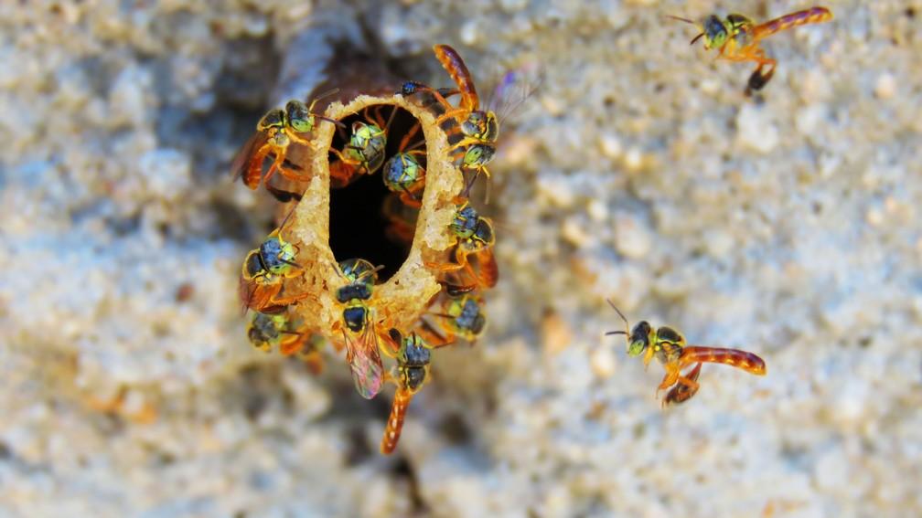 As abelhas-jataí se adaptam em vários ambientes (Foto: Maria Izabel Mosini/VC no TG)