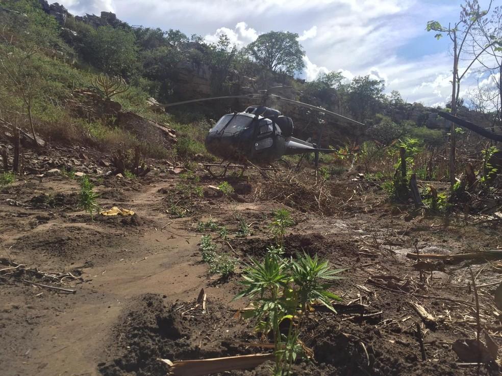 Vinte e três pés de maconha foram erradicados durante operação da PF no norte da Bahia — Foto: Polícia Federal/ Divulgação
