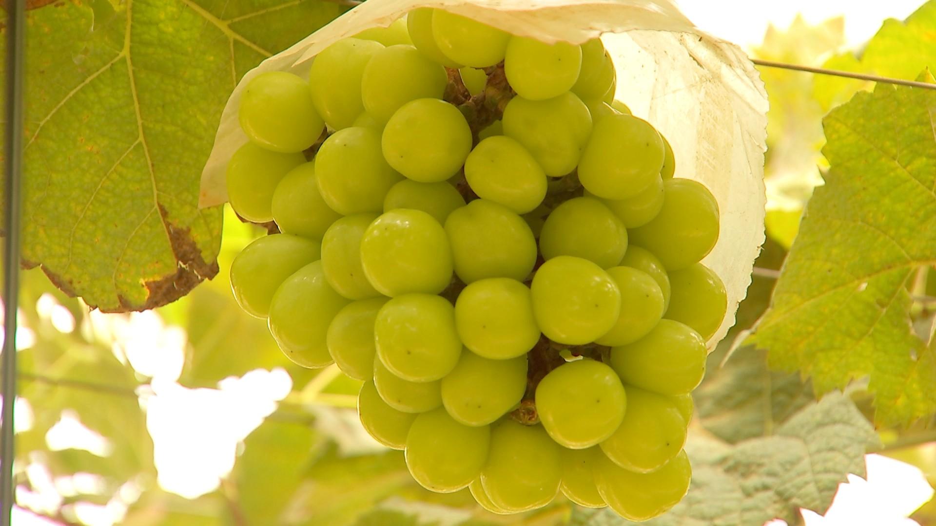 Produtores colhem uva que pode custar mais de R$ 100