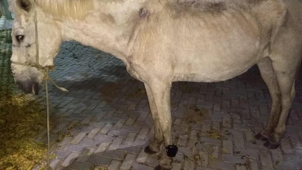 Cavalo é encontrado com tornozeleira eletrônica no município de Iguatu — Foto: Divulgação