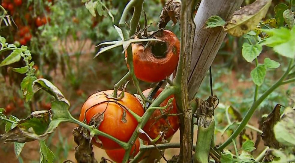 Cerca de 30 mil caixas de tomates foram perdidas em São Sebastião do Paraíso (MG). (Foto: Reprodução/EPTV)