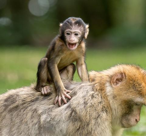 Pesquisadores descobrem onde fica a consciência no cérebro dos macacos
