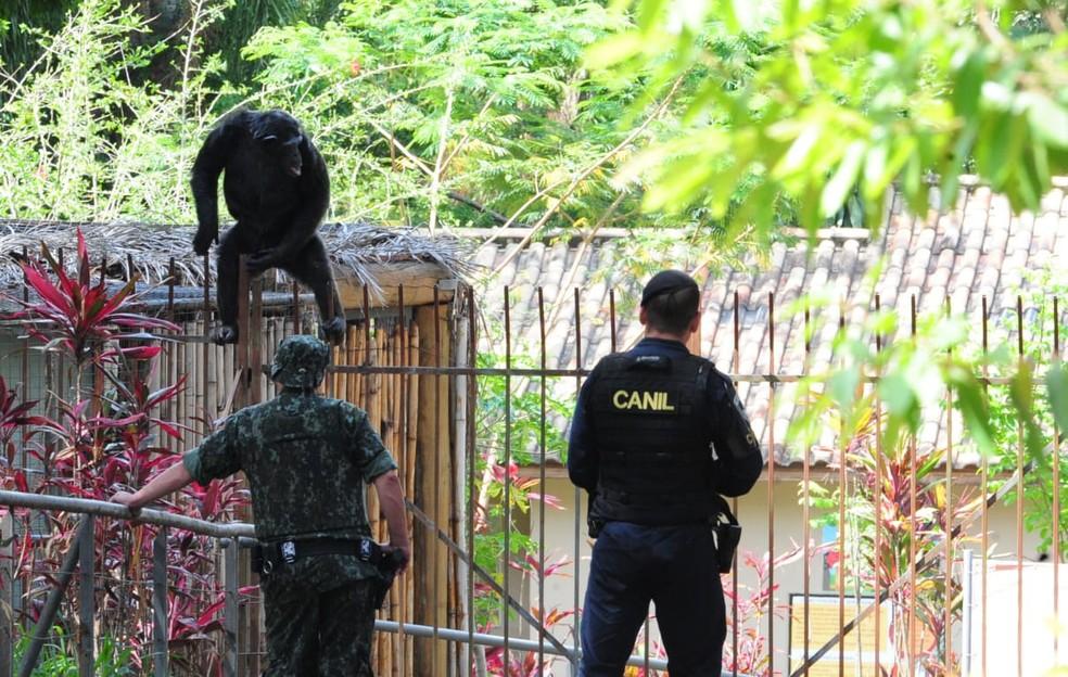 Chimpanzé escapou de recinto e mobilizou equipes no zoológico de Sorocaba em novembro de 2020 — Foto: Fábio Rogério/Cruzeiro do Sul