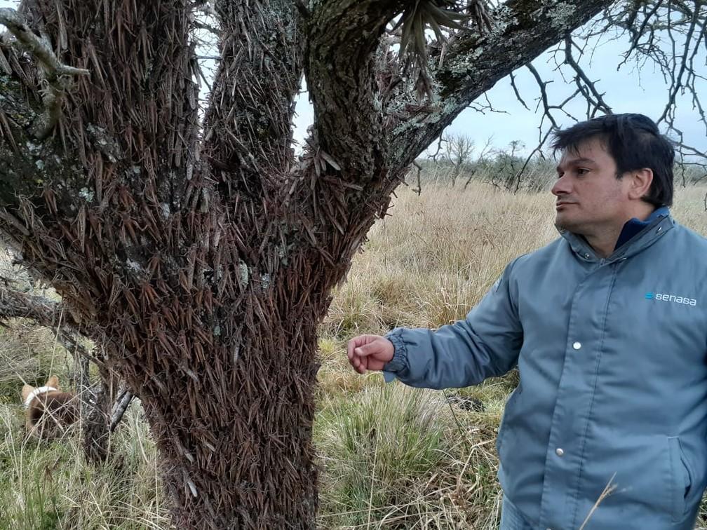 Técnico do governo argentino observa gafanhotos em árvore localizada em Esquina, na província de Corrientes — Foto: Senasa/Divulgação