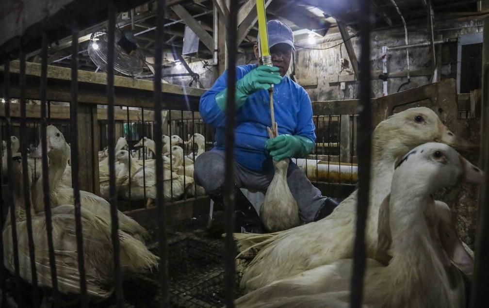 Método para produção de foie gras, com tubo enfiado na garganta da ave, é considerado cruel — Foto: Bebeto Matthews/Arquivo/AP Photo