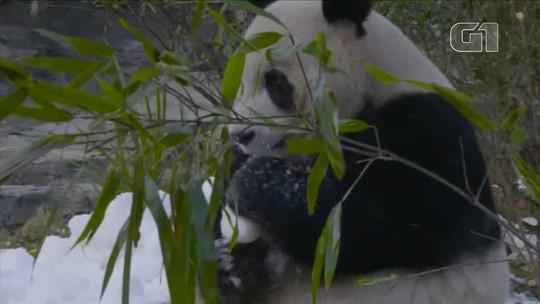 Pandas gigantes ganham neve de presente no Ano Novo chinês