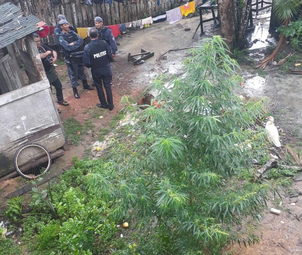 Pés de maconha são encontrados em quintal de uma casa na ilha de Santana, no Amapá (Foto: 4º Batalhão da PM/Divulgação)