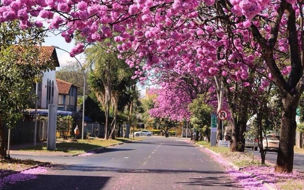 Ipês roxos floridos na Asa Sul, em Brasília, em imagem de arquivo — Foto: Júlio Pinheiro/Arquivo Pessoal