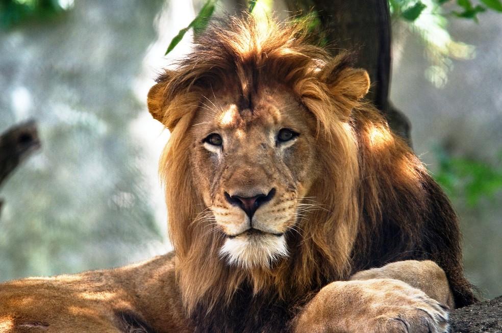 Leão Nyack tinha dez anos e viveu com Zuri por oito anos — Foto: Reuters