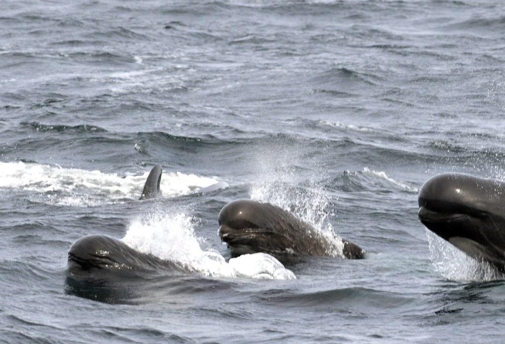 Baleias-piloto (Globicephala) (Foto: Flickr/U.S. Fish and Wildlife Service Northeast Region/Creative Commons)
