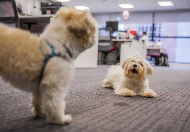 Cachorros xxx e Pipoca brincando no escritório da Royal Canin em São Paulo (Foto: Anna Carolina Negri/Época NEGÓCIOS)