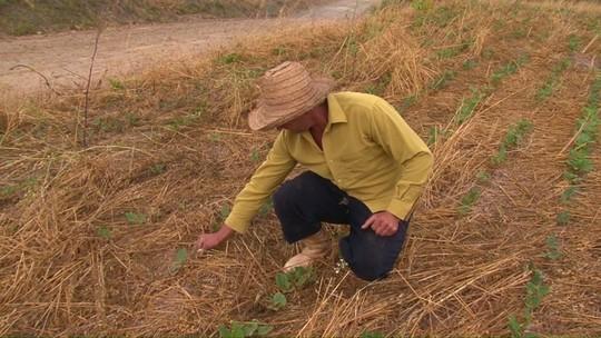 Seca prejudica plantações de feijão na região de Prudentópolis