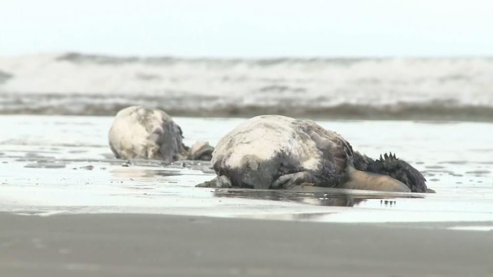Pinguins-de-magalhães são encontrados mortos em Ilha Comprida, SP. (Foto: Reprodução/TV Tribuna)