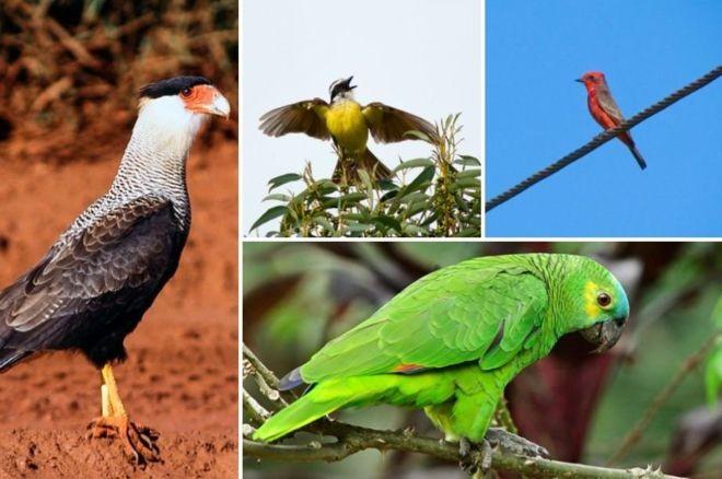 Em sentido horário, carcará, bem-te-vi, príncipe e papagaio-real, algumas das espécies de aves avistadas em São Paulo (Foto: JOSÉ CARLOS MOTTA-JUNIOR )