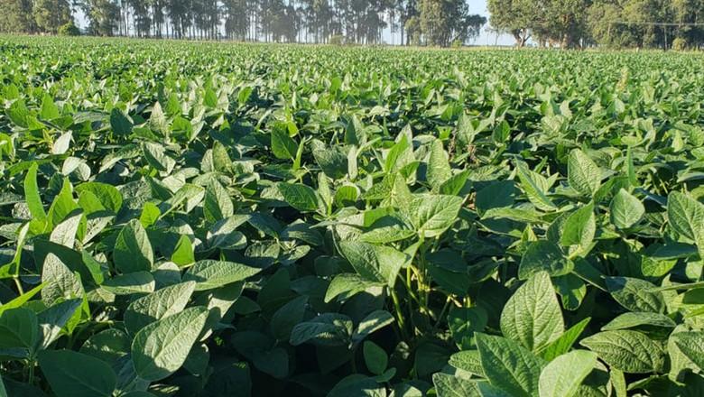 Plantação de soja onde foi realizada a pesquisa da Embrapa, no Sul  (Foto: Divulgação/Embrapa)