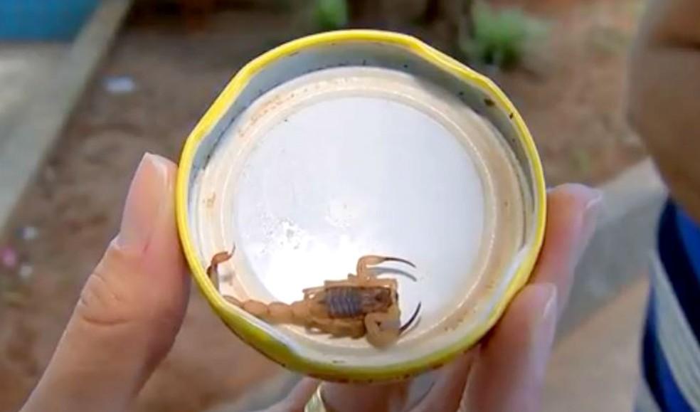 Escorpião encontrado na região de Bauru — Foto: TV TEM/Reprodução