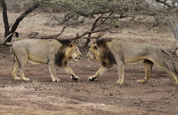 Leões se encaram em santuário localizado no estado de Gujarat, na Índia (Fot Ajit Solanki/AP)