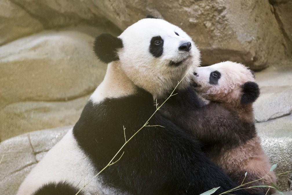 Zoo apresenta filhote de panda na França (Foto: Zoo Parc de Beauval via AP)