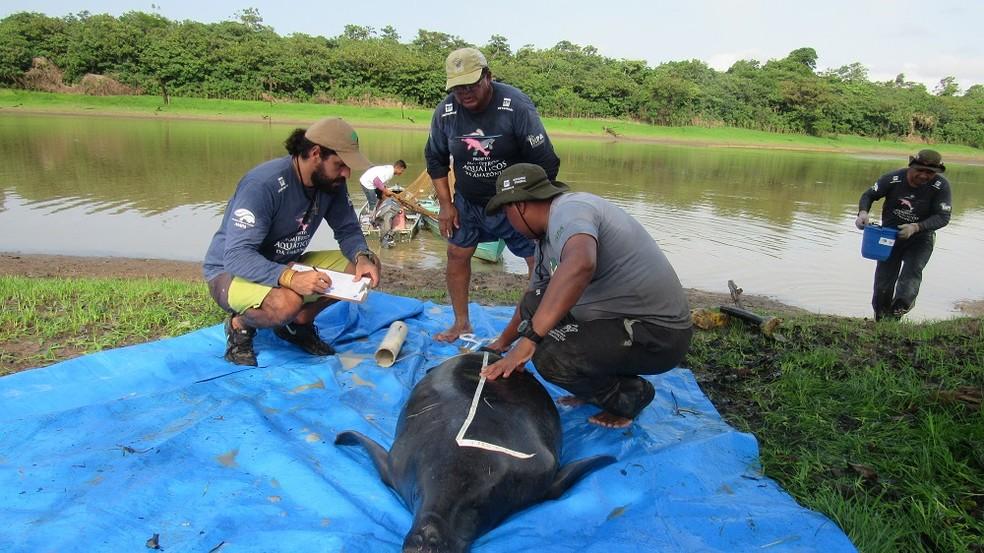"""A fêmea """"Baré"""" chegou ainda filhote ao Instituto Nacional de Pesquisas da Amazônia (Inpa/MCTIC), em Manaus, onde passou 16 anos e foi solta, em 2018, na Reserva de Desenvolvimento Sustentável (DRS) Piagaçu-Purus, no município de Anori, a 173 quilômetros da capital amazonense.  — Foto: Diogo Souza e acervo Ampa/Inpa"""