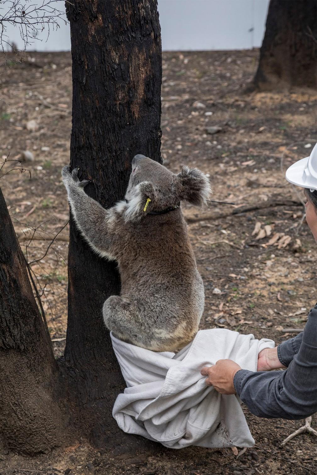 Coala resgatado em incêndio volta à natureza após 3 meses de recuperação no Parque Nacional Kanangra-Boyd, em Nova Gales do Sul, na Austrália — Foto: Science for Wildlife via Reuters