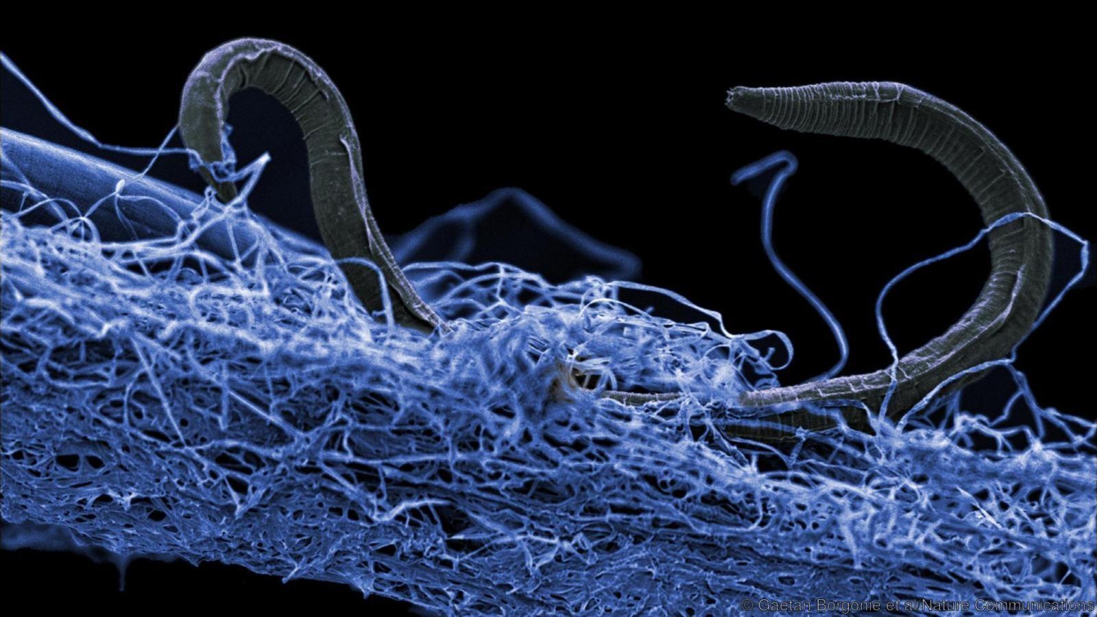 Um nematóide (eucariota) não identificado encontrado na mina de ouro de Kopanang, na África do Sul, 1,4 km abaixo da superfície (Foto:  Gaetan Borgonie / Extreme Life Isyensya)