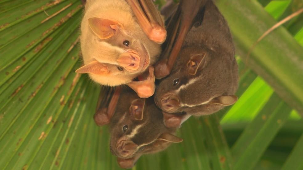 Morcego encontrados em Campinas foram alvos de estudos de pesquisador da Unicamp — Foto: Vanderlei Duarte / TG