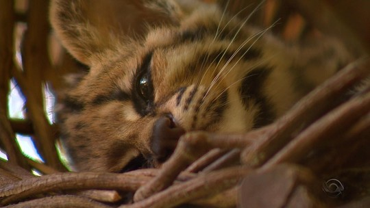 Equipe de TV japonesa grava reportagem sobre gatos maracajá no Rio Grande do Sul