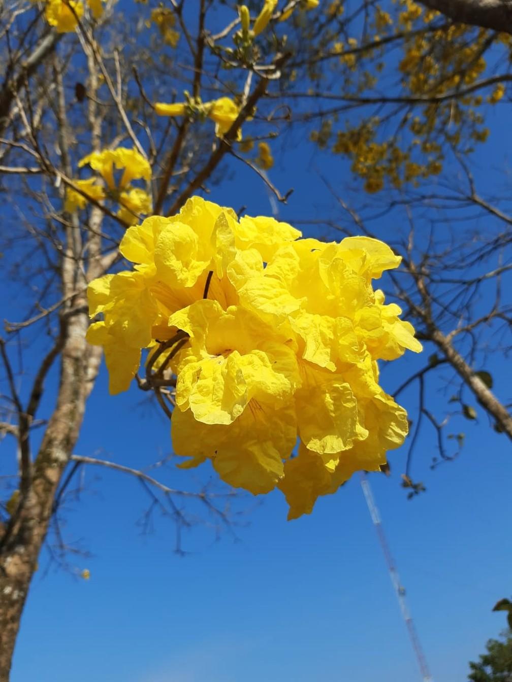 Ipê florido em São Francisco do Guaporé — Foto: Juliana Lunas Linhares/Arquivo Pessoal