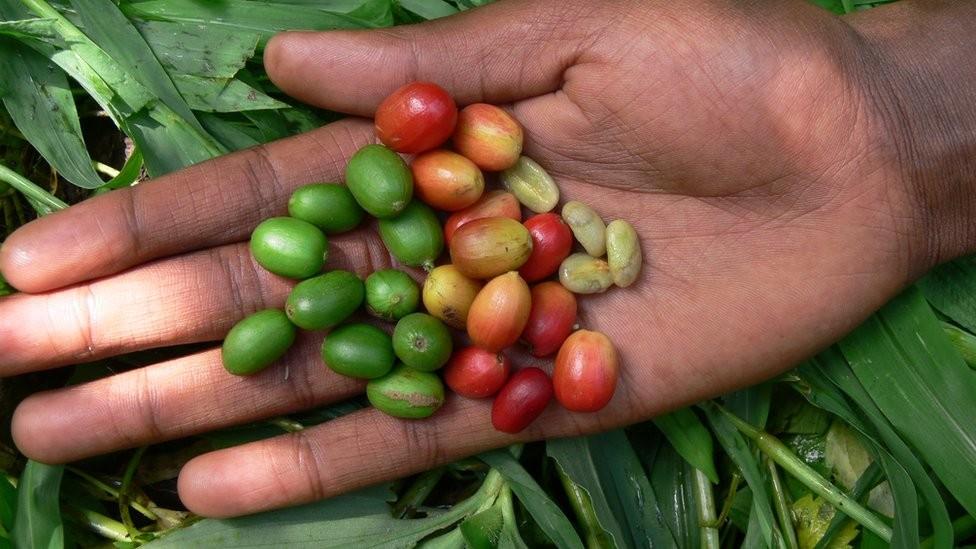 60% das espécies de café do mundo correm risco de extinção, afirma pesquisa britânica