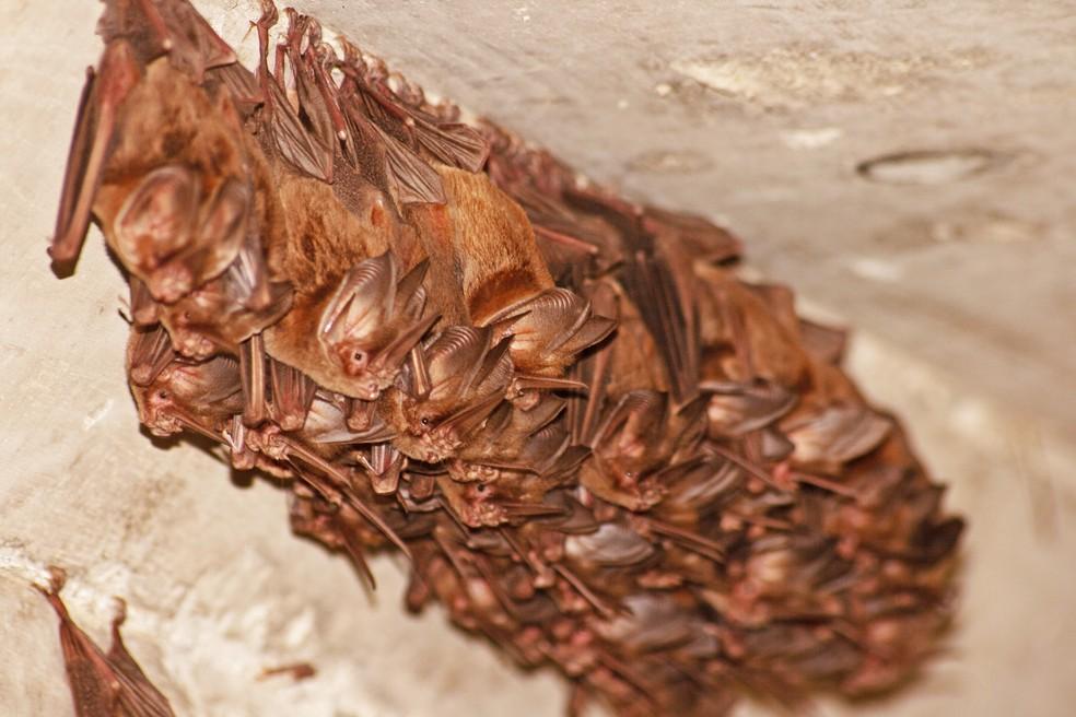 Os morcegos são os mamíferos mais numerosos, depois dos roedores — Foto: Leandro Oliveira/Cemafauna/Arquivo