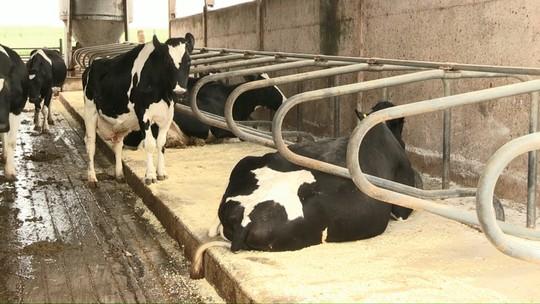 Produção de leite aumenta depois da instalação de colchões para vacas descansarem