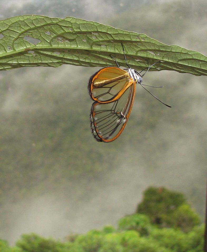 The Enigmatic Clearwing Butterfly, de Marianne Elias (Foto: Creative Commons)