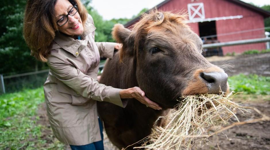 Abraçar as vacas pode diminuir a ansiedade  (Foto: Divulgação)