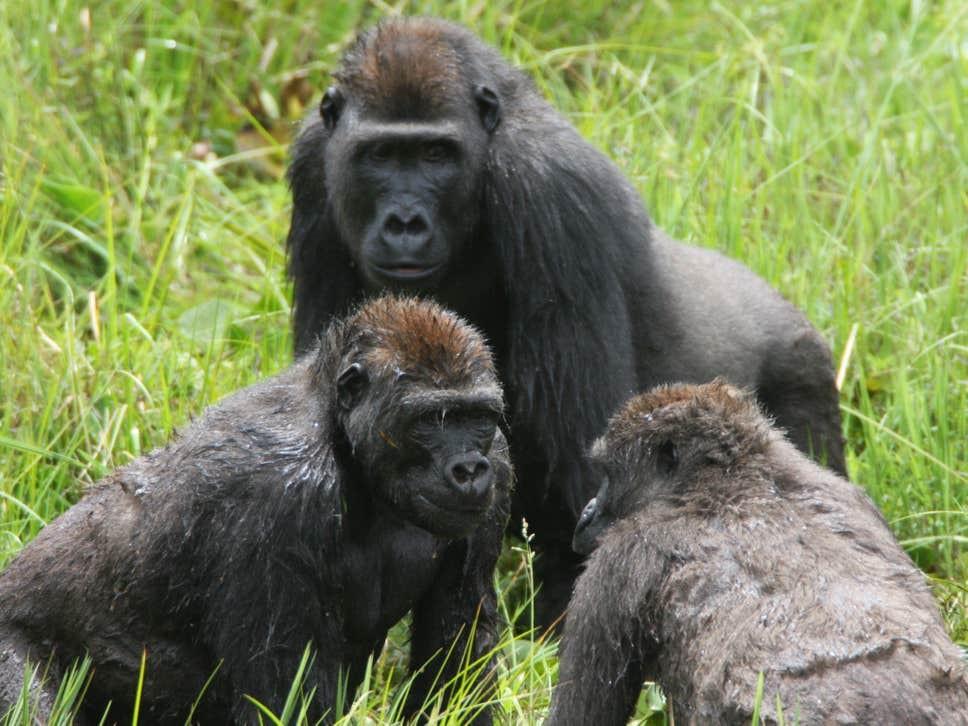 Gorilas socializam na floresta Mbeli Bai, no Parque Nacional Nouabal-Ndoki, da República do Congo.  (Foto: Wildlife Conservation Society)