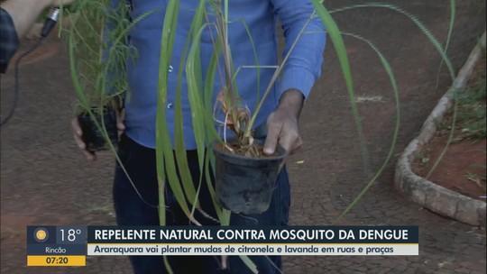 Araraquara vai plantar 40 mil mudas de lavanda para combater mosquito da dengue
