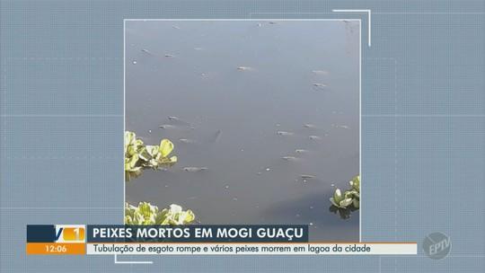 Tubulação de esgoto rompe e provoca mortes de centenas de peixes em lagoa de Mogi Guaçu; vídeo