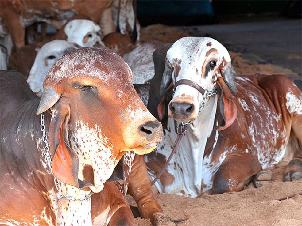 Feira vai contar com a exposição de bovinos, equinos, caprinos e ovinos, além de animais de pequeno porte.  (Foto:  Jhon Caribé/ Divulgação)